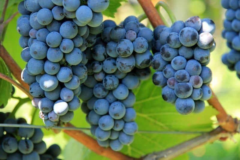 Traubenkerne Antioxidantien